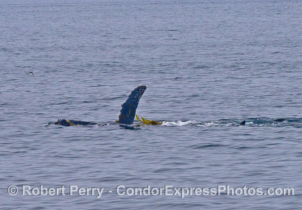 Image 1 of 2:   A humpback whale playing with giant kelp.