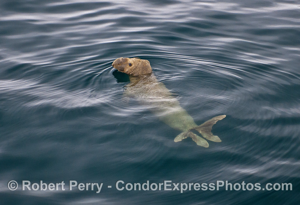Image 5 of 5:   A young male elephant seal poses for photographs in the middle of the Santa Barbara Channel.