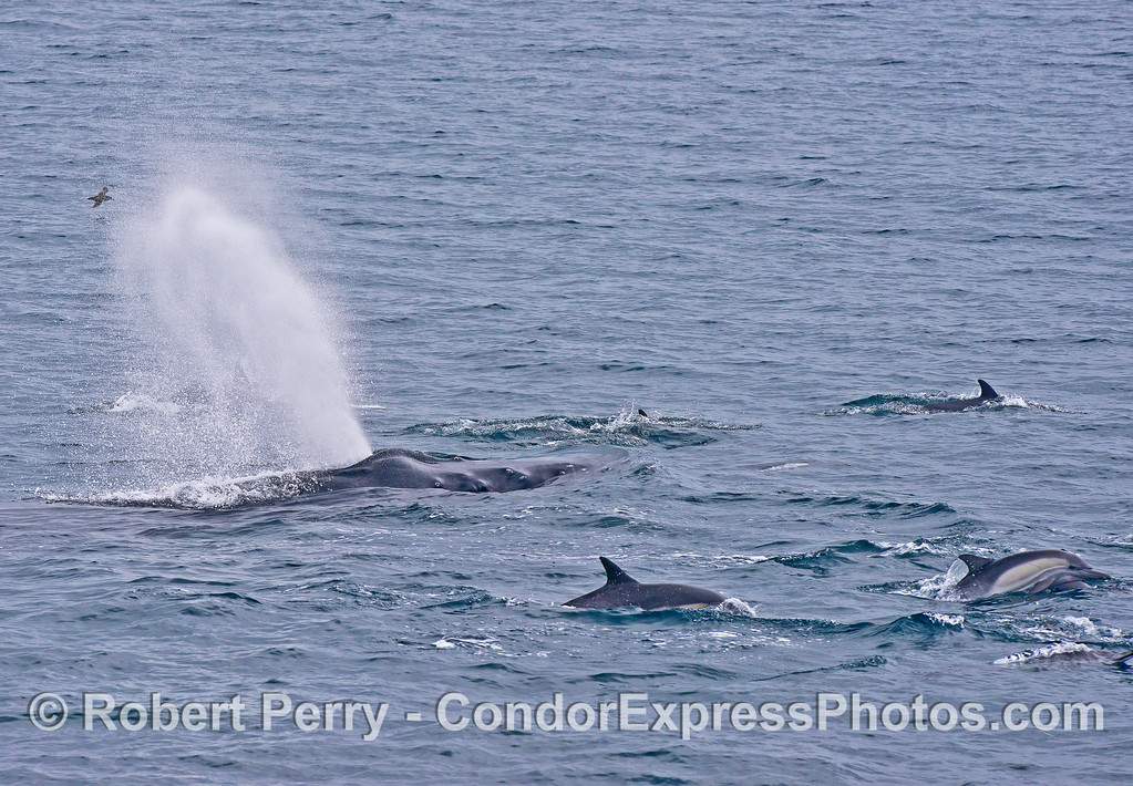 Humpback whale with long-beaked common dolphins.
