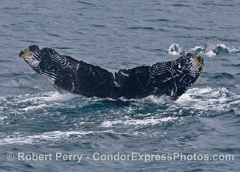 """The underside of this humpback whales' tail shows lots of """"rake"""" scar patterns from killer whale attacks."""
