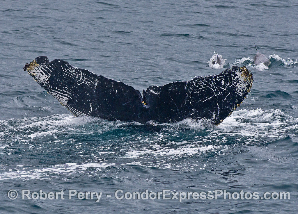 "The underside of this humpback whales' tail shows lots of ""rake"" scar patterns from killer whale attacks."