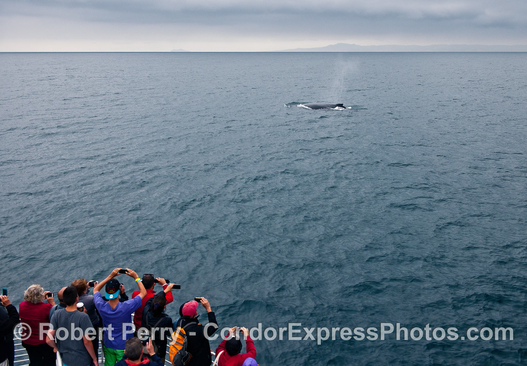 The Santa Barbara Channel, Anacapa Island (left) and Santa Cruz Island (right) provide a backdrop for whale lovers watching a friendly humpback whale.