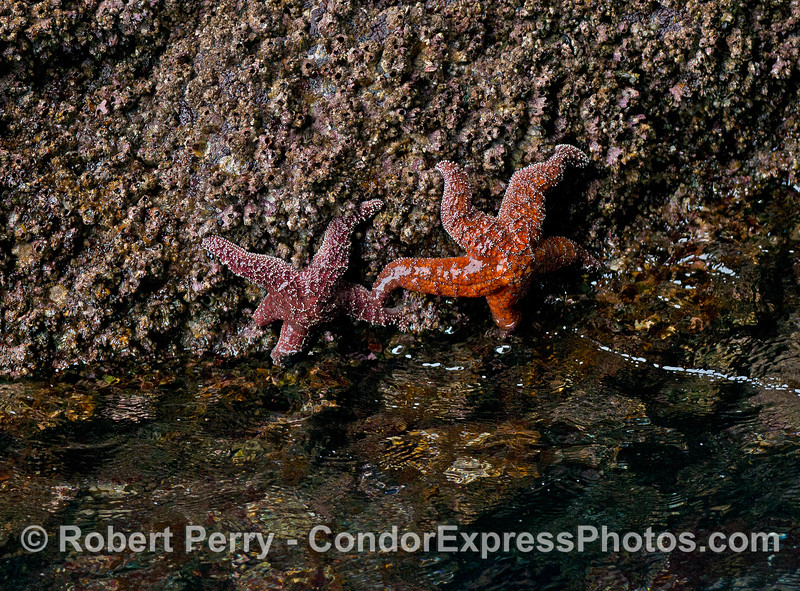 Two ochre stars exposed by the tide - on the walls of the Painted Cave, Santa Cruz Island.