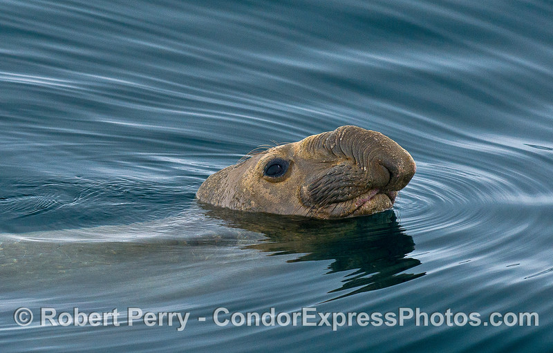 Image 2 of 5:   A young male elephant seal poses for photographs in the middle of the Santa Barbara Channel.