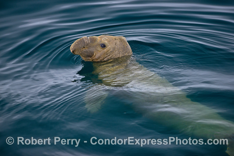 Image 4 of 5:   A young male elephant seal poses for photographs in the middle of the Santa Barbara Channel.