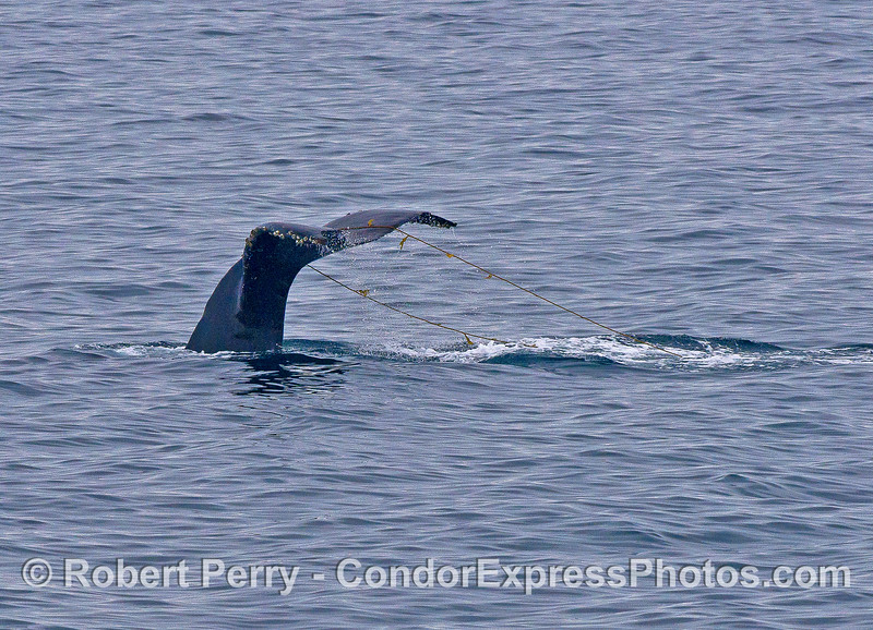 Image 2 of 2:   A humpback whale playing with giant kelp.
