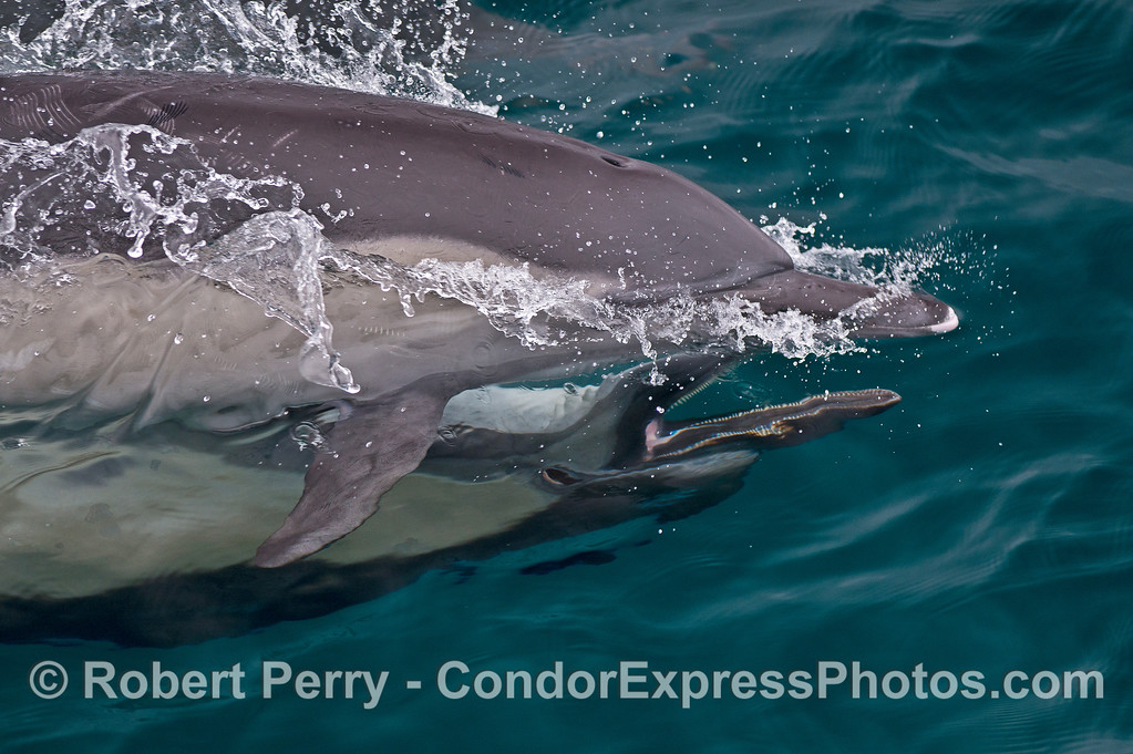 Image 1 of 2:  Long-beaked common dolphins mating.  The male is underneath the female and swimming with her upside down.  These 2 images captured the male with his mouth open and many teeth showing.