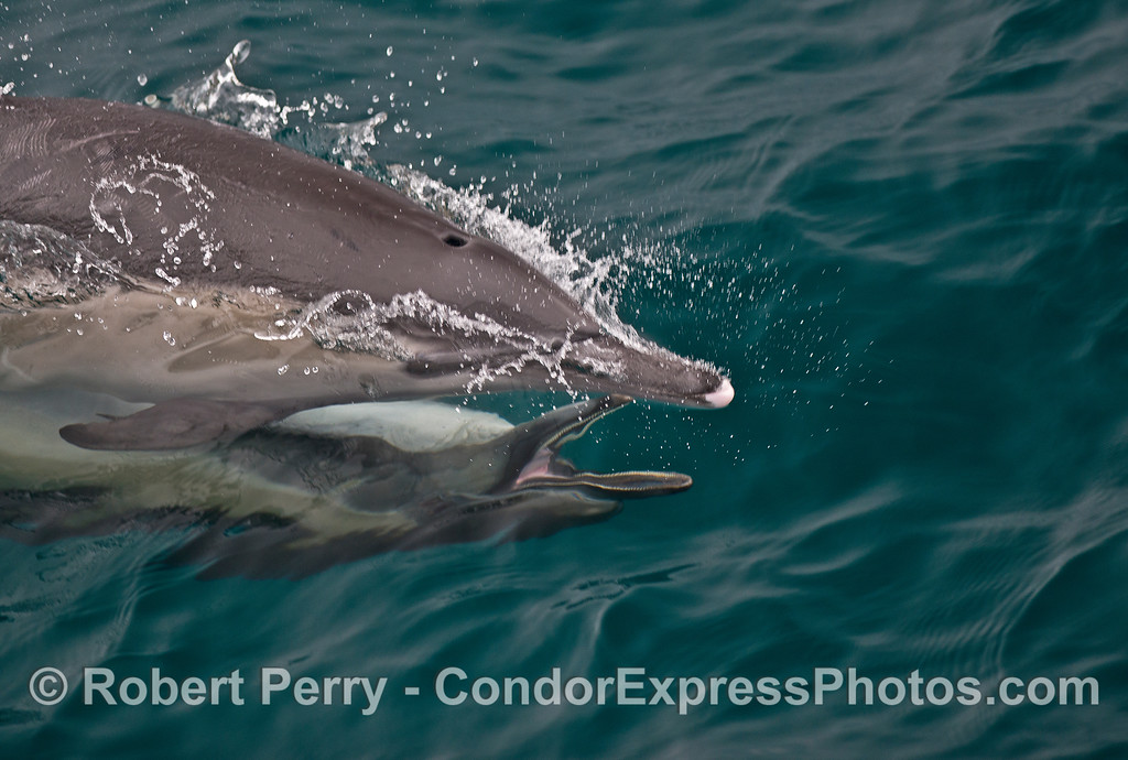 Image 2 of 2:  Long-beaked common dolphins mating.  The male is underneath the female and swimming with her upside down.  These 2 images captured the male with his mouth open and many teeth showing.