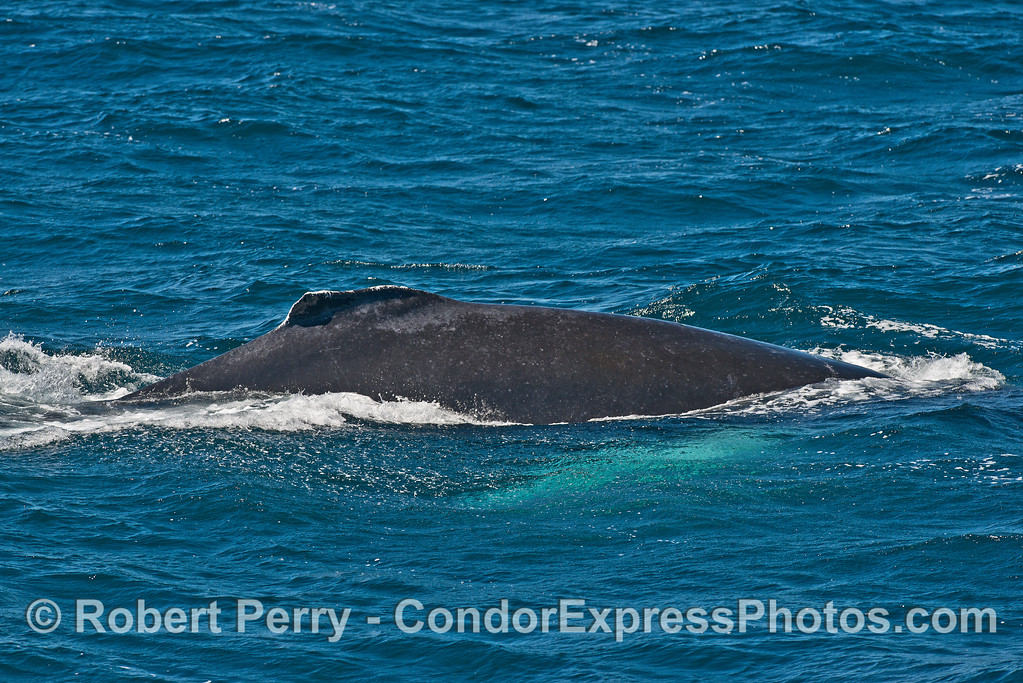 Side view - humpback whale with white pectorals glowing underwater