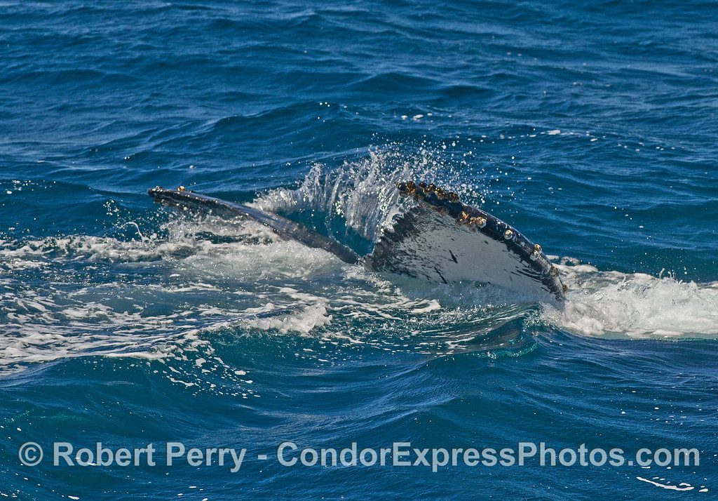 Tip of the tail flukes - last view of a deep diving humpback whale