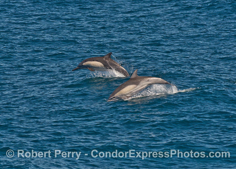 Two long-beaked common dolphins leaping across the waves