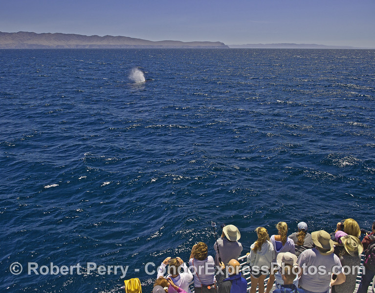 Santa Cruz Island (left) and Santa Rosa Island (right) provide a backdrop for a spouting humpback whale and its fan club.