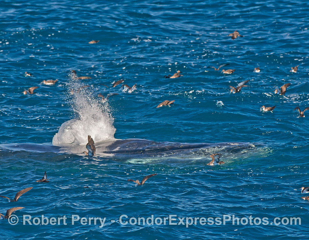 A humpback whale surfaces and spouts in the middle of a resting flock of black-vented shearwaters.  The spout almost blasted one very close and surprised bird.