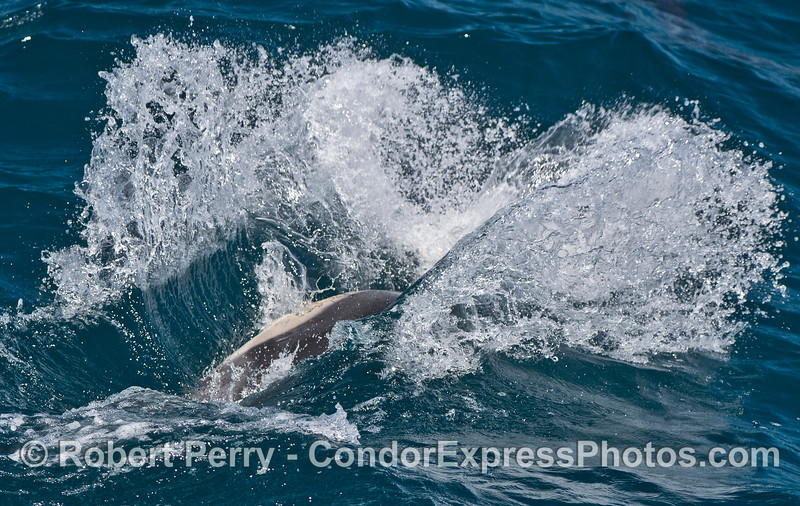Image 2 of 2:  A leaping long-beaked dolphin splashes down !