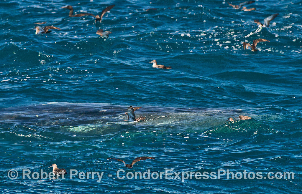 A humpback whale rises up from the depths catching a few birds by surprise.