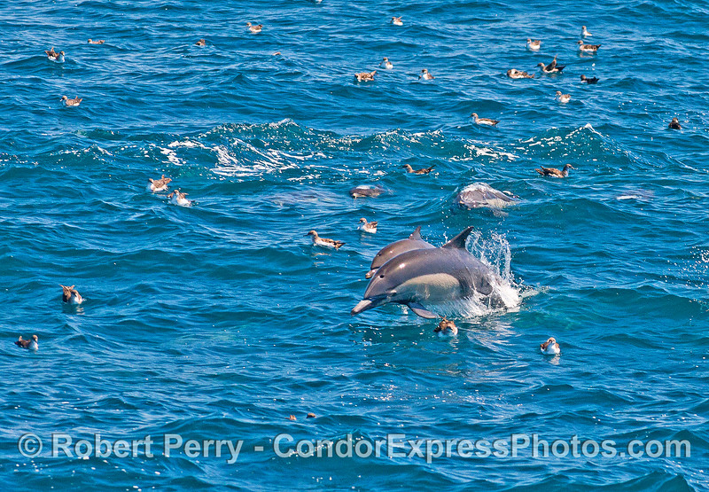 Mother long-beaked common dolphin and her calf do a bit of leaping.