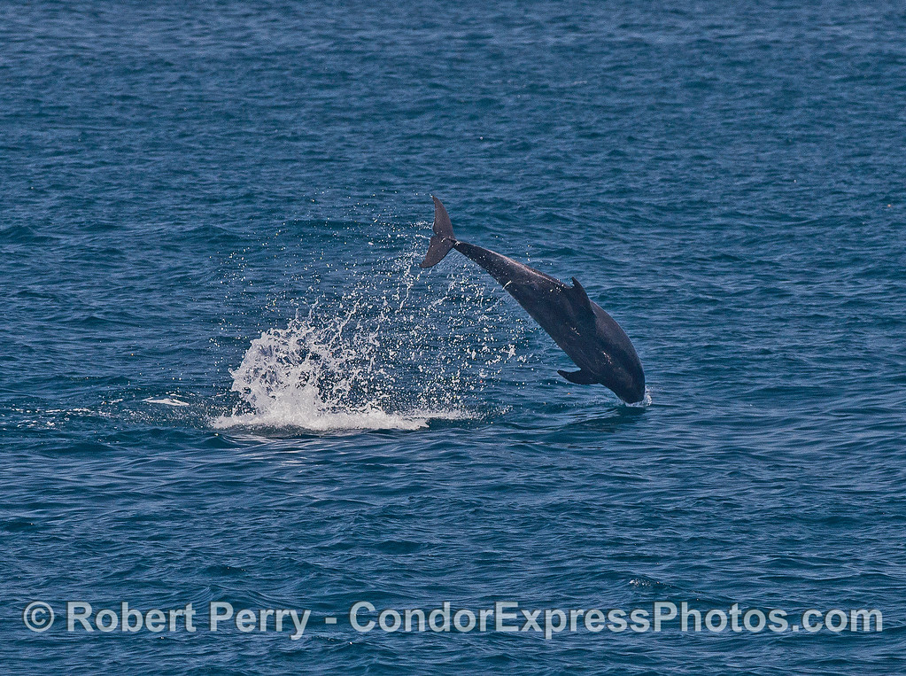 Image 3 of 3:  Offshore bottlenose dolphin leap sequence.