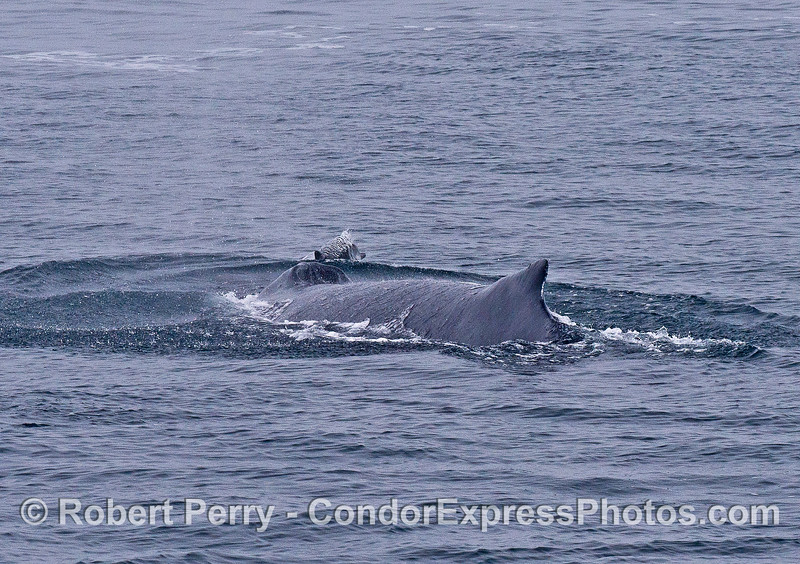 """A common dolphin appears to be surfing the """"bow wave"""" of the whale."""