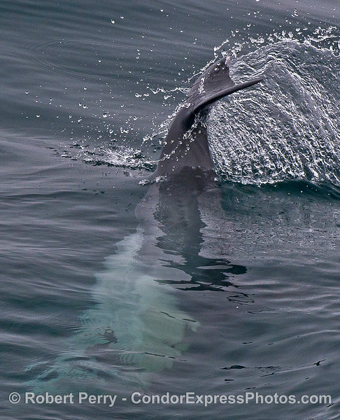 A head stand and tail flick - long-beaked common dolphin.