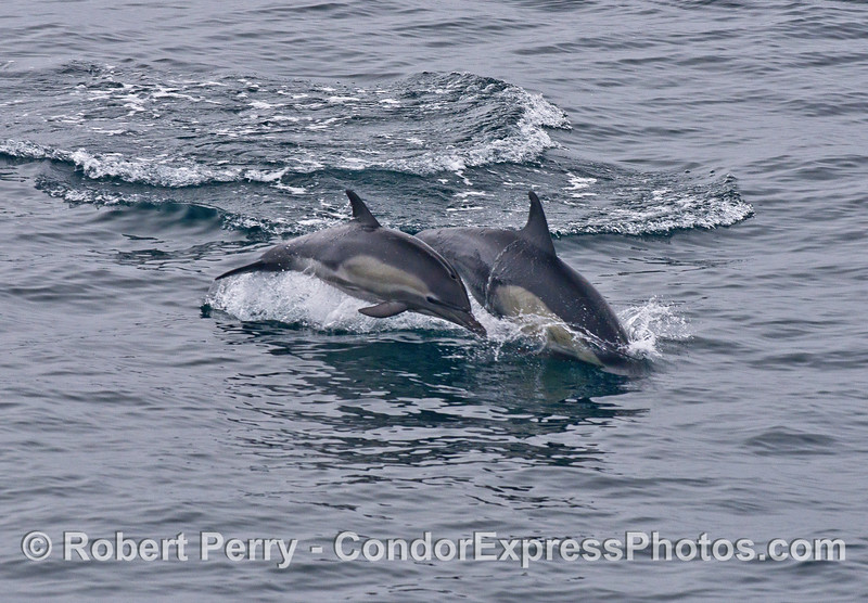 Two leaping long-beaked common dolphins