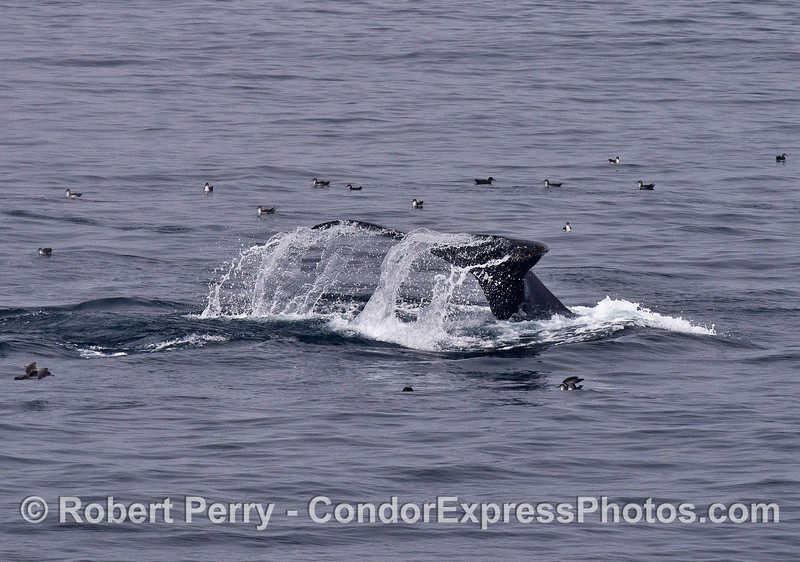A humpback whale flukes-up in the middle of a flock of black-vented shearwaters.