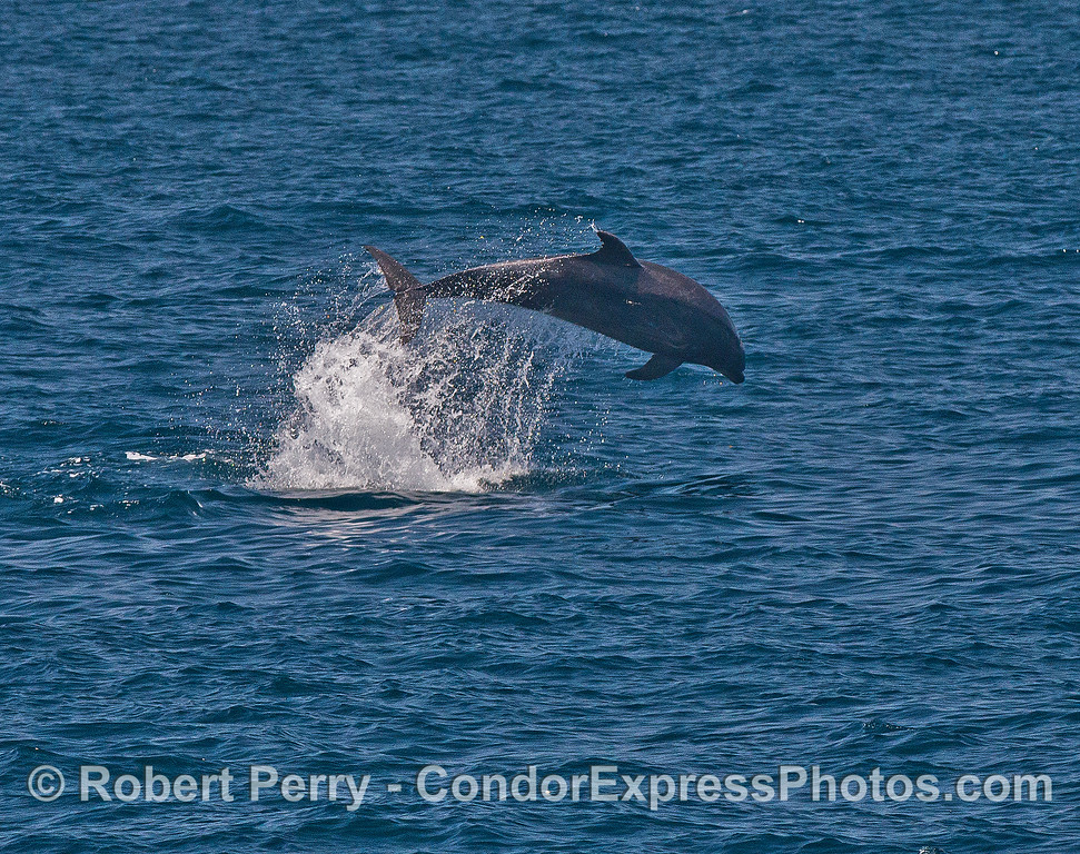 Image 2 of 3:  Offshore bottlenose dolphin leap sequence.