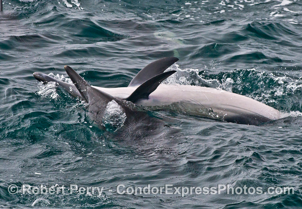 Image 4 of 4:  Two long-beaked common dolphins interacting; things heat up as the male bites the female.