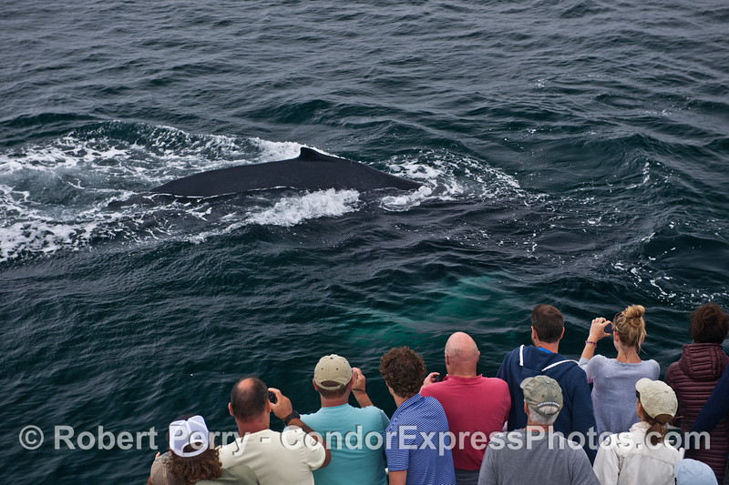 A very friendly humpback whale says hi to its fans.