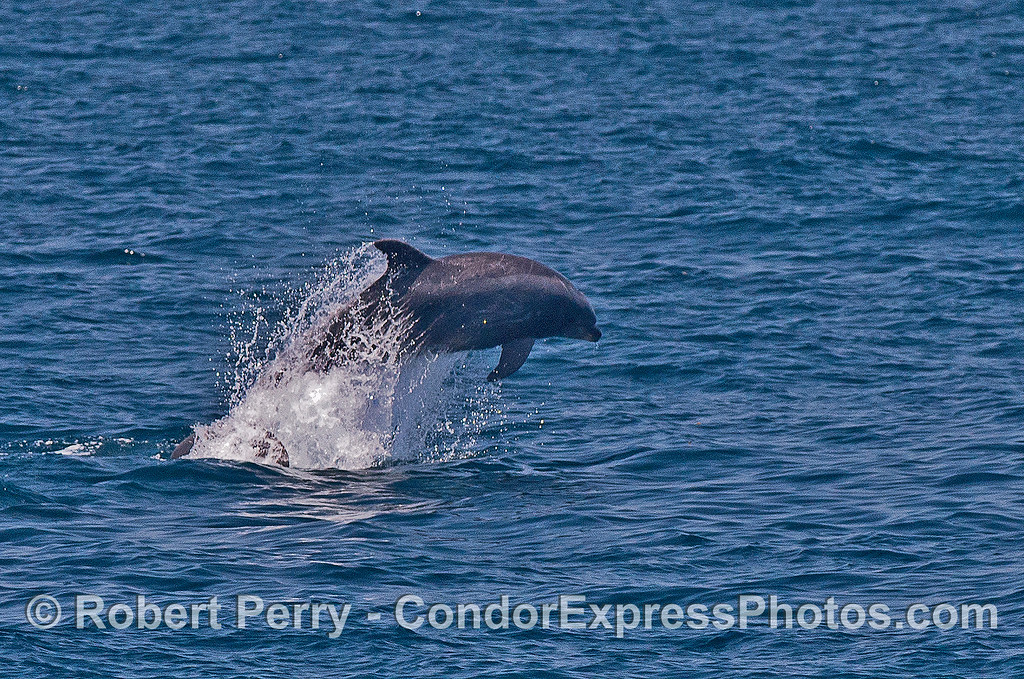 Image 1 of 3:  Offshore bottlenose dolphin leap sequence.
