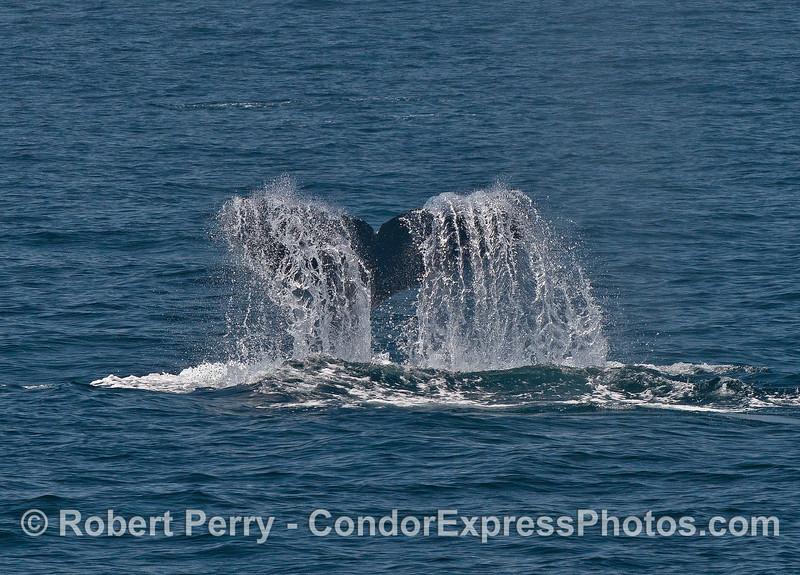 "A humpback whale tail ""fountain"""