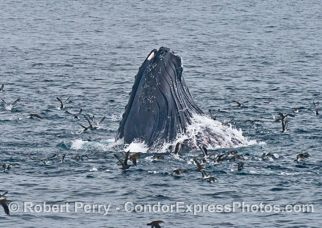 Image 1 of 4:  A humpback whale lunges vertically and engulfs a school of northern anchovies.