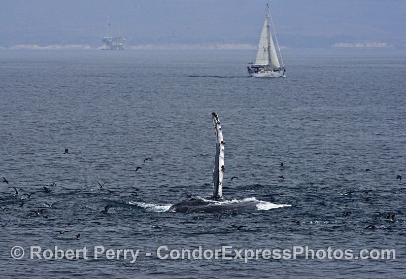 Humpback whale, sail boat and offshore oil platform Holly.