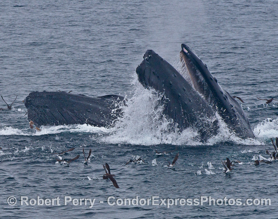 Image 4 of 4:  Two humpback whales lunge vertically and engulf a school of northern anchovies.