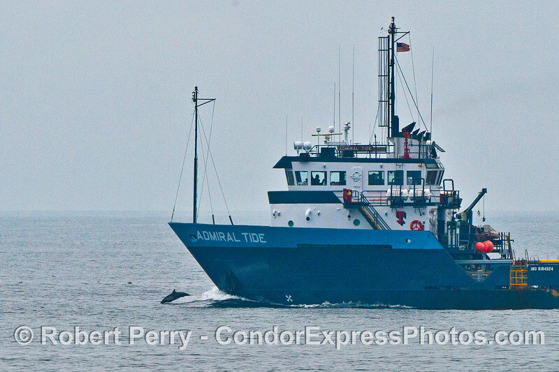 A bold common dolphin rides the bow of the Admiral Tide, a 206-ft offshore supply ship.