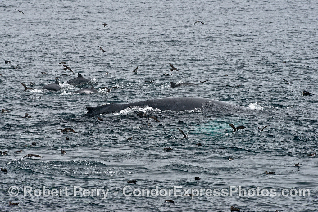 Humpback, long-beaked common dolphins and black-vented shearwaters in the middle of a hot spot.