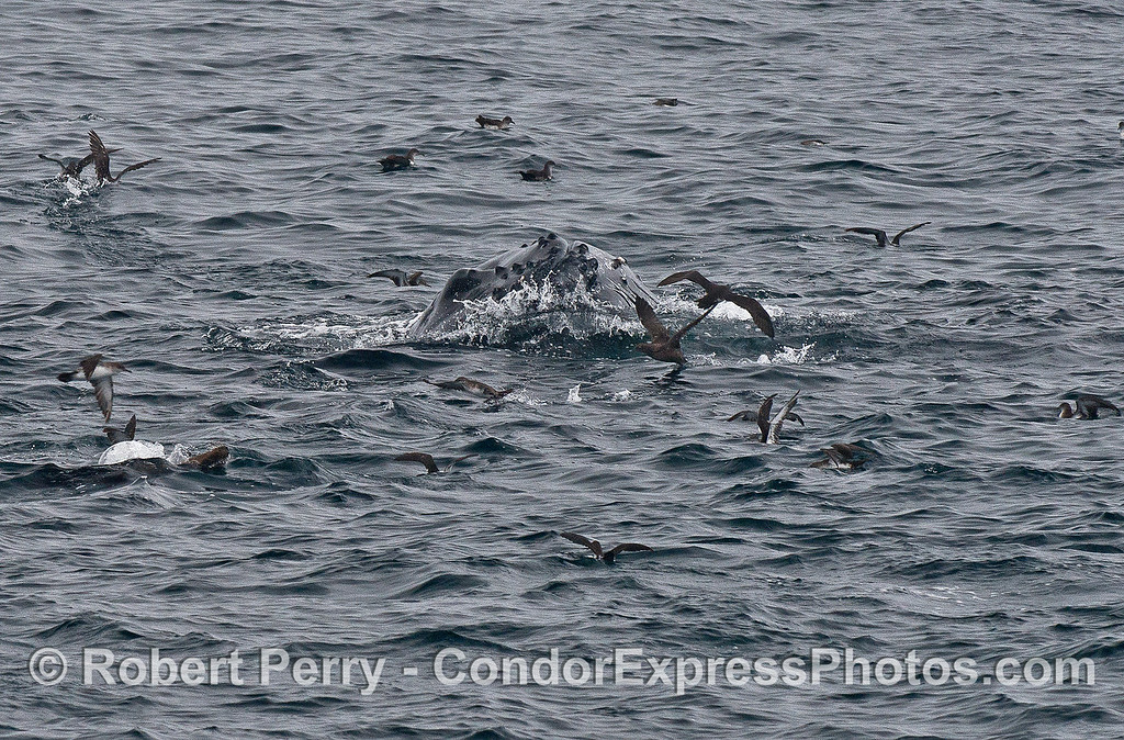 Tip of the rostrum of a lunge feeding humpback whale.