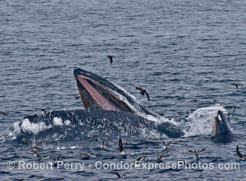Image 1 of 4:  Two humpback whales lunge vertically and engulf a school of northern anchovies.