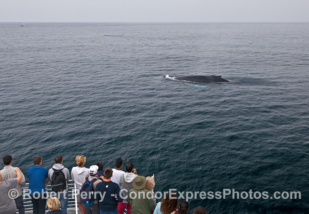 Whale fans get a great look at a humpback with white pectorals and glassy seas.