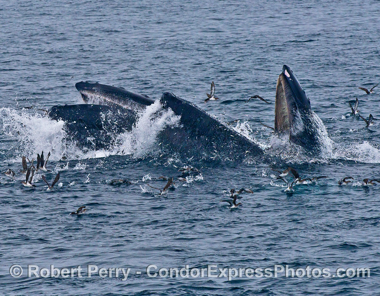 Image 3 of 4:  Two humpback whales lunge vertically and engulf a school of northern anchovies.