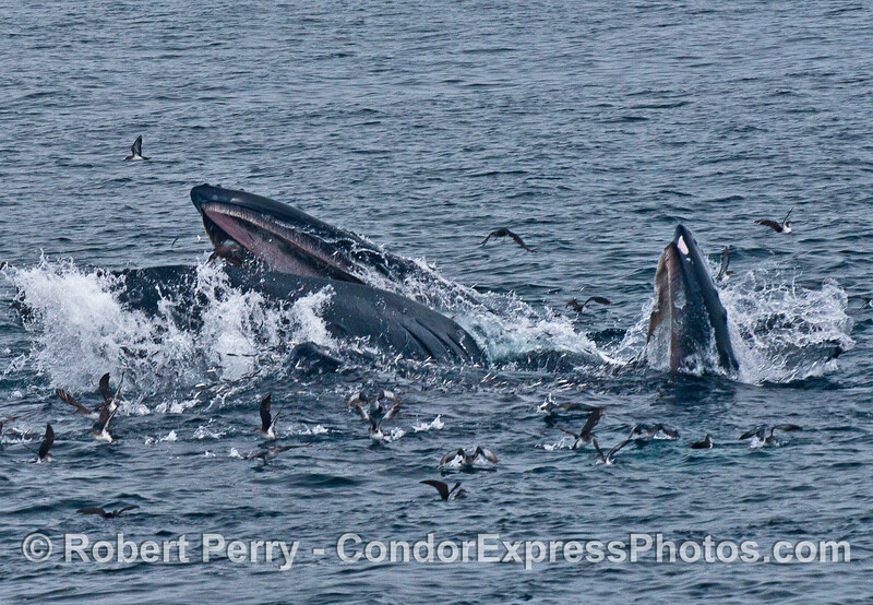 Image 2 of 4:  Two humpback whales lunge vertically and engulf a school of northern anchovies.
