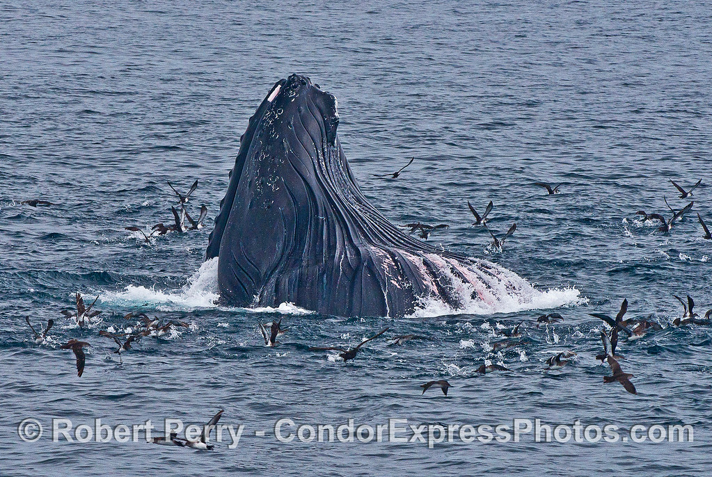 Image 2 of 4:  A humpback whale lunges vertically and engulfs a school of northern anchovies.