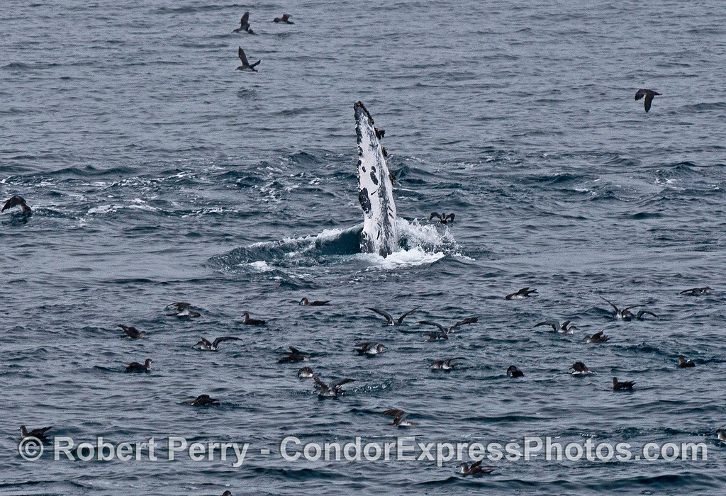 Unusual fin color patterns as a feeding humpback whale rolls around.