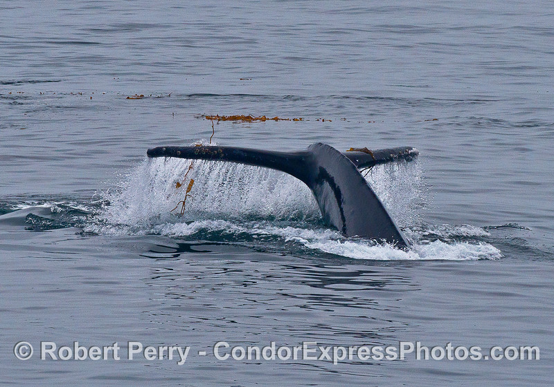 Giant kelp dangles from the tail flukes of a humpback whale that has been kelping.