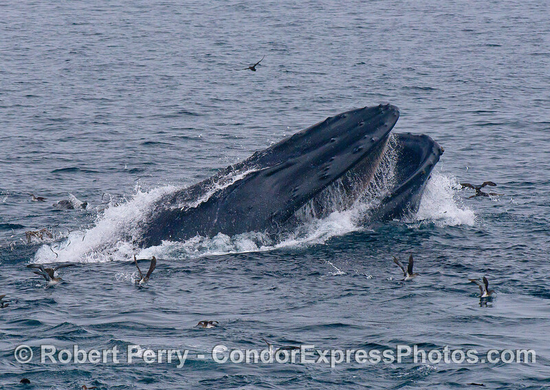 An oblique, horizontal feeding lunge by a humpback whale permits us to see its baleen plates.
