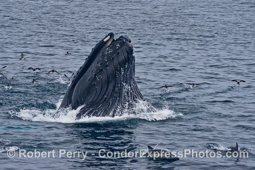 Image 3 of 4:  A humpback whale lunges vertically and engulfs a school of northern anchovies.