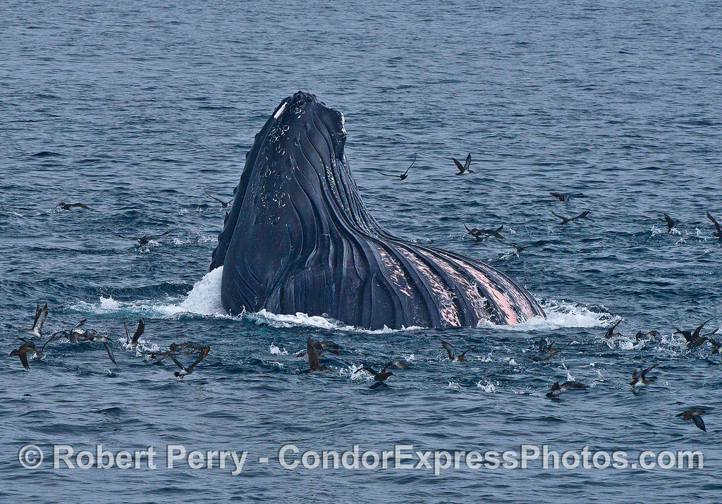 Image 4 of 4:  A humpback whale lunges vertically and engulfs a school of northern anchovies.