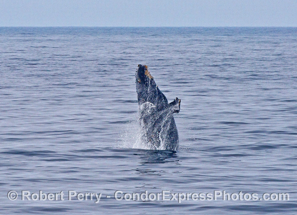 Image 1 of 4:   a humpback whale breaches