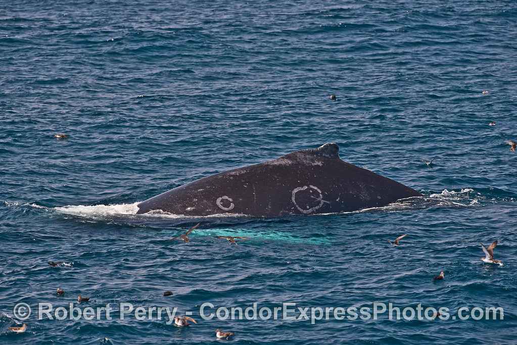 Humpback whale with unusual circle scars