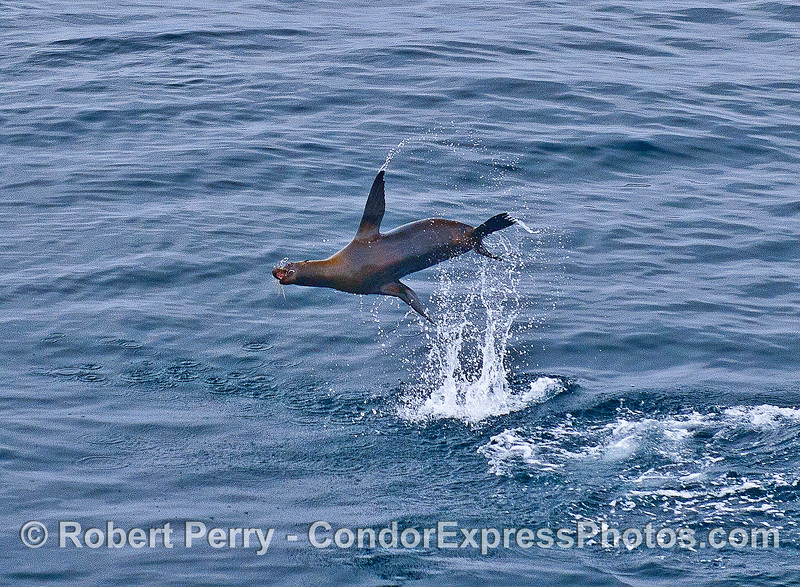 An exhuberant California sea lion demonstrates one of its many aerial maneuvers.