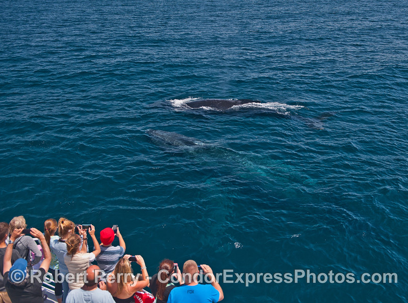 Two friendly humpback whales